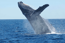 反捕鯨国が日本人にクジラを食べさせたくない理由とは?
